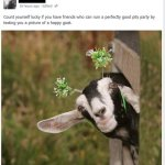 Because… Goats.