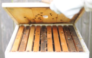 Junior Finds Passion in Beekeeping