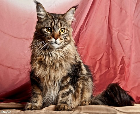 Как ухаживать за кошкой породы мейн-кун