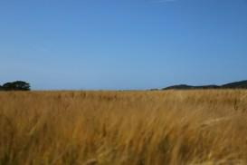 Getreidefelder Südschweden