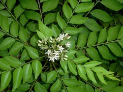 Small Of Curry Leaf Plant