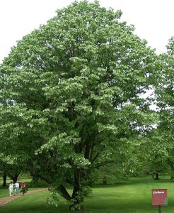 Linden lime tree