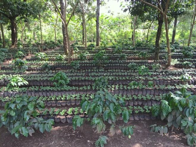 Baby coffee plant nursery