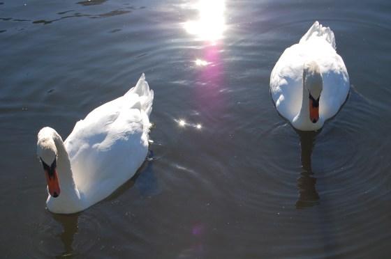 public garden swans