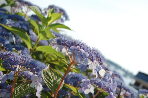 purple flowers in new england