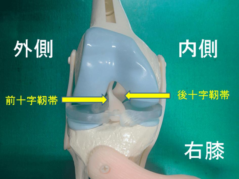 右膝の前十字靭帯と後十字靭帯