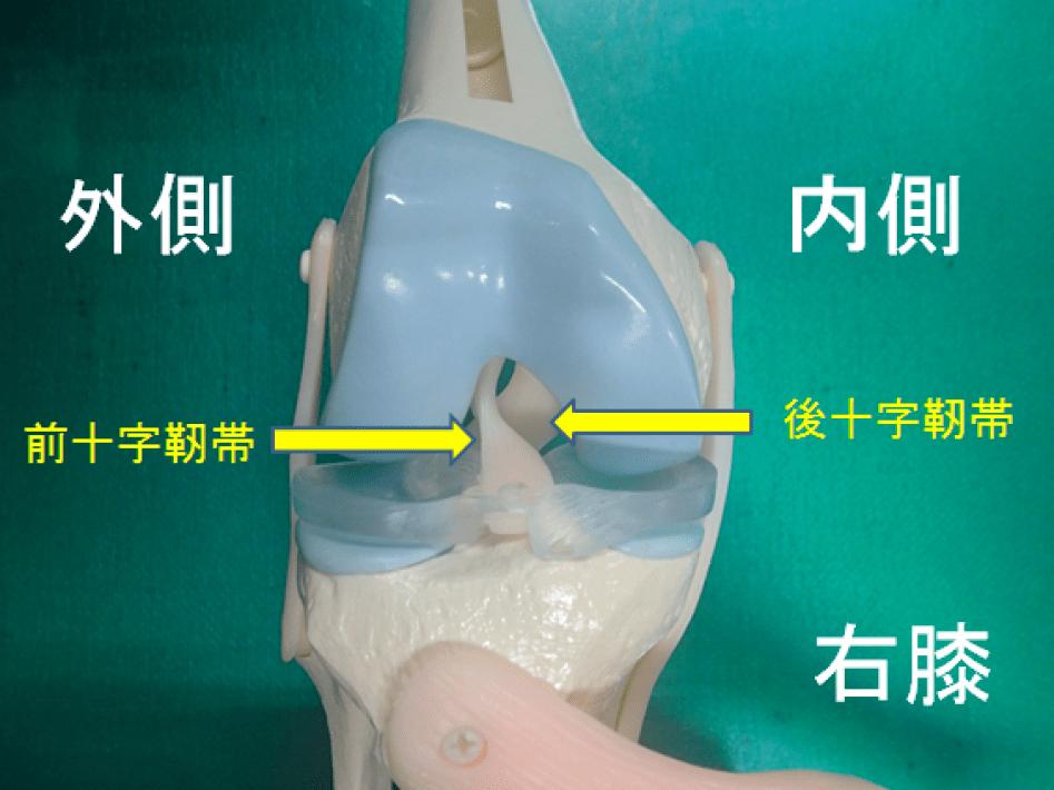 右膝の前十字靭帯