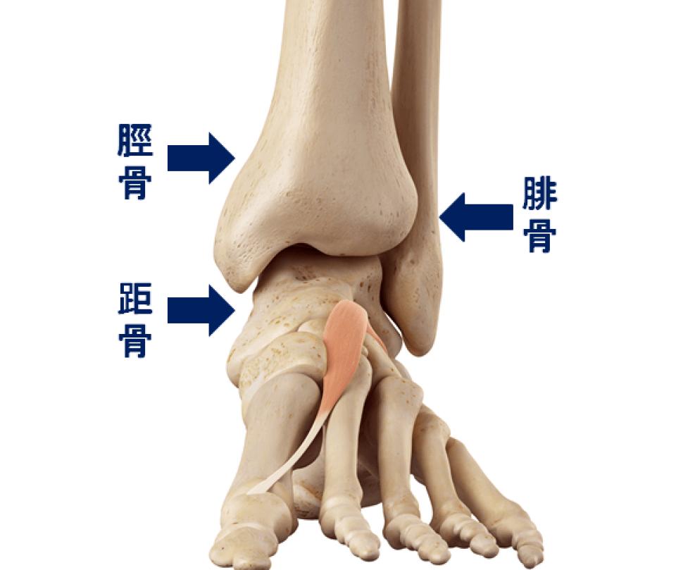 足首の関節を構成する3つの骨 脛骨と腓骨と距骨