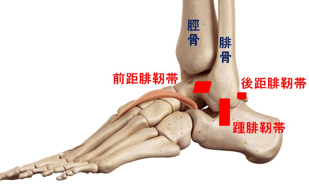 外果に付く3つの靭帯 前距腓靭帯・後距腓靭帯は腓骨と距骨を  踵腓靭帯は腓骨と踵骨を繋いでいる