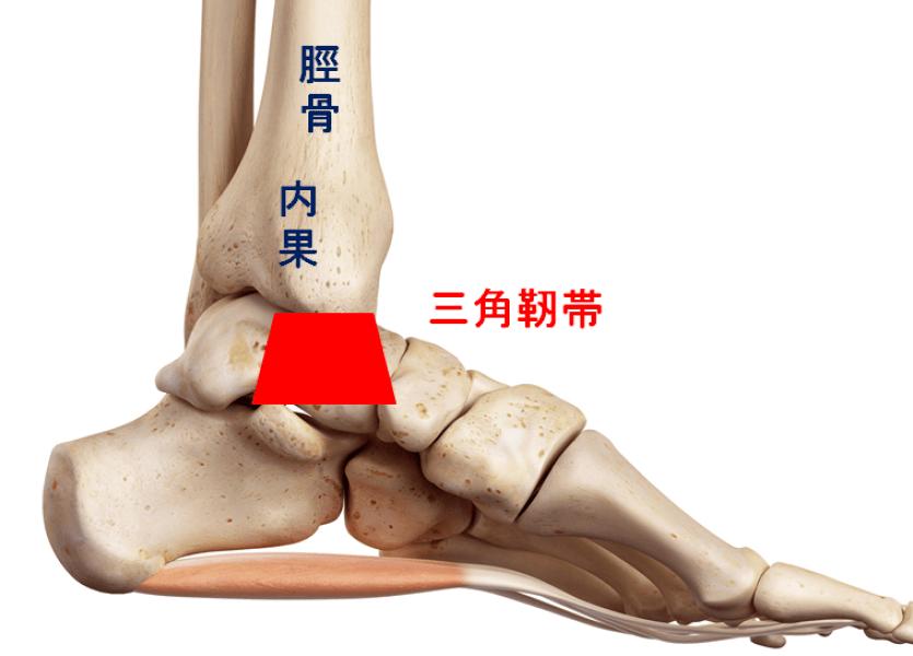 内果に付く三角靭帯の図説