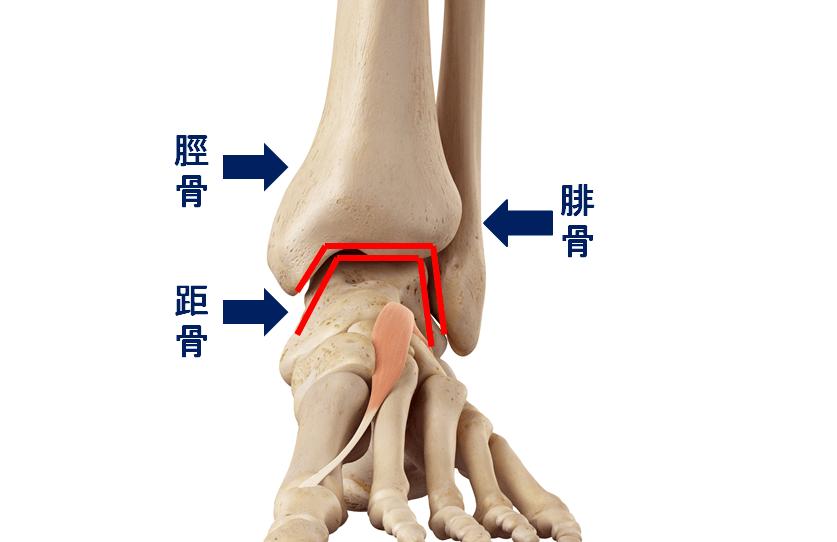 脛骨(けいこつ)と腓骨(ひこつ)の凹みと距骨(きょこつ)の凸がはまり込んでいる