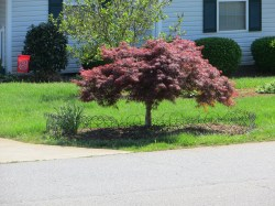 Small Of Dwarf Japanese Maple Tree