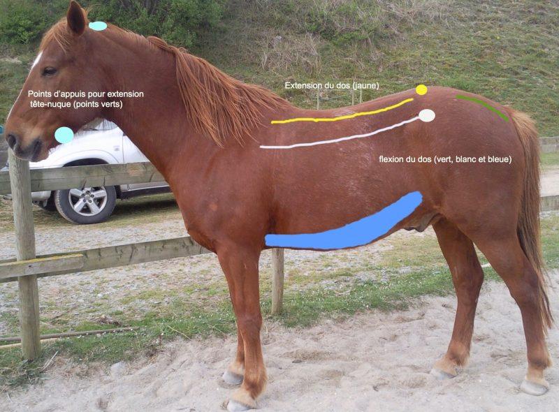 masser-etirer-cheval