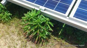 ソーラーパネルに影を作りそうな雑草