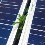 雑草帝国の逆襲+ソーラーシェアリングの有効性
