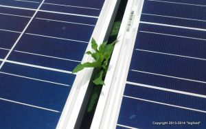 太陽光発電パネルの間から顔を出す雑草
