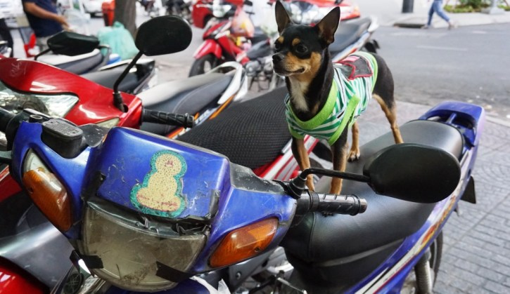 Woof! Apparently Dogs Ride Motorbikes in Ho Chi Minh City, Too. Vietnam, April 2016