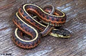 American Garter Snake
