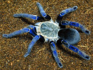Cobalt Blue Tarantula Care