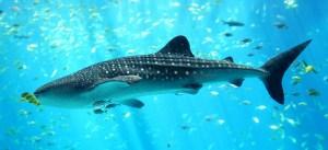 Whale shark under sea