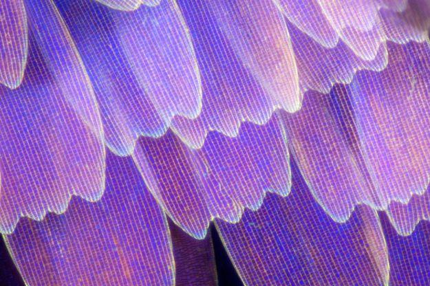 Asa de borboleta em macro (3)