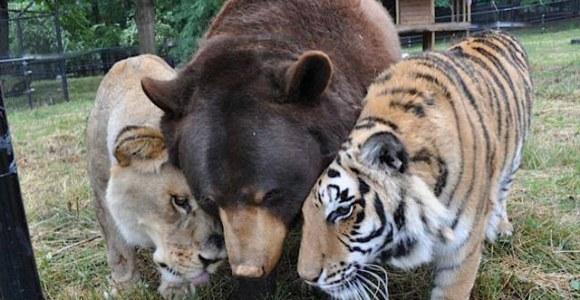 A união entre um urso, um leão e um tigre é uma verdadeira lição de amizade