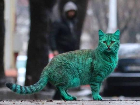 Gato Verde da Bulgária 10