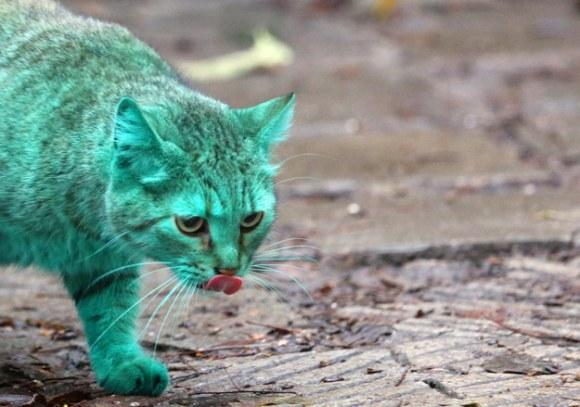 Gato Verde da Bulgária 5