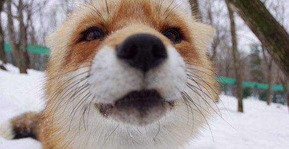 Raposas, raposas e mais raposas é o que podemos encontrar neste abrigo de animais do Japão