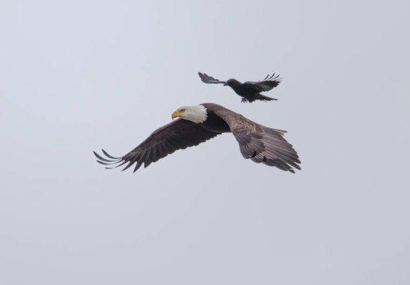 corvo e aguia 1