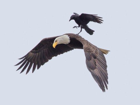 corvo e aguia 2