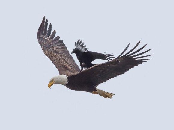 corvo e aguia 4