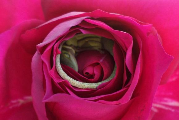 Rosa Lagarto 4
