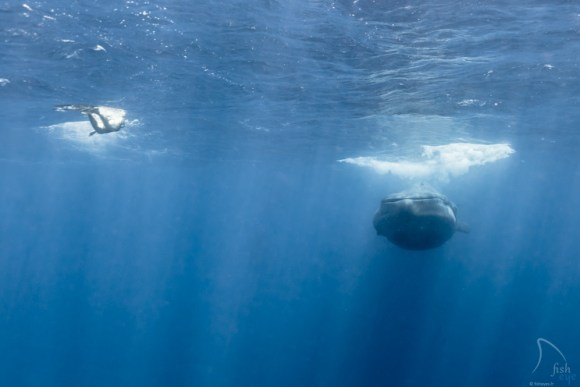 Mergulhando com baleias 14