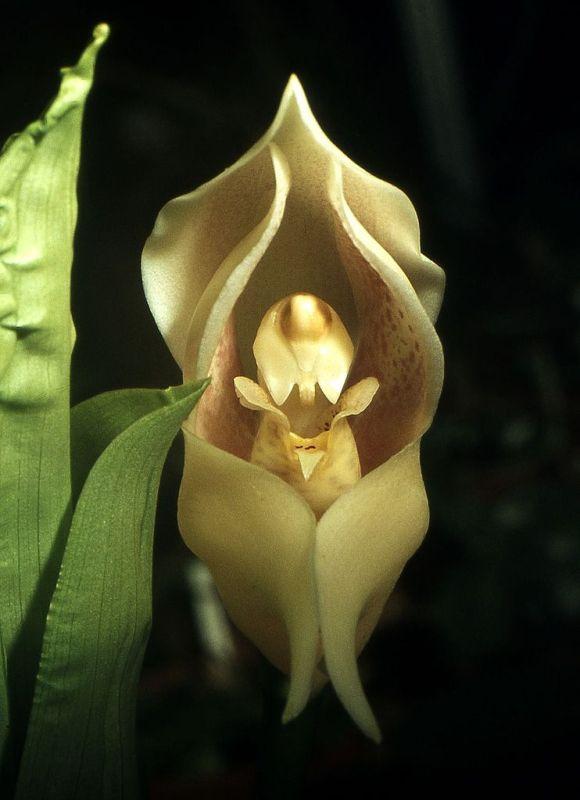 742px-Anguloa_uniflora_Orchi_002[1]