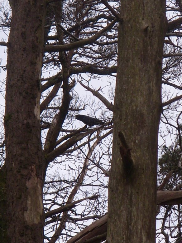 """Cronk Cronk"" Raven in Burrator Wood"