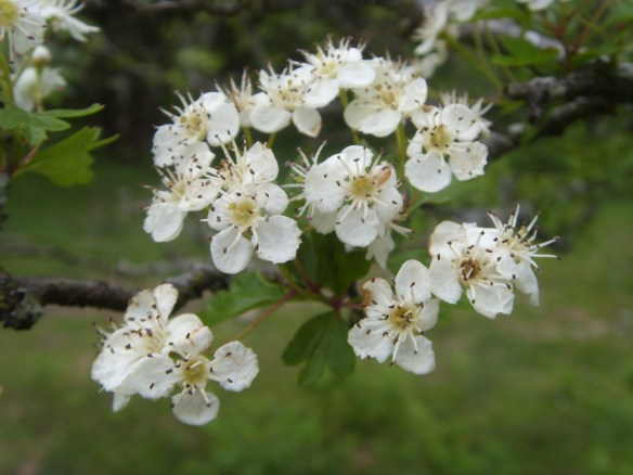 Hawthorn Blossom. Something About Dartmoor.