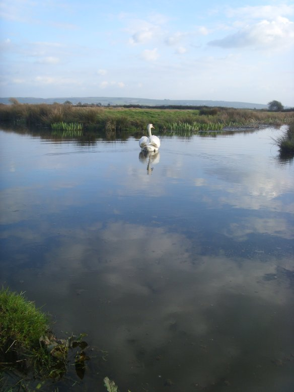 Swan at Crow Point - Braunton Burrows - Something about Dartmoor