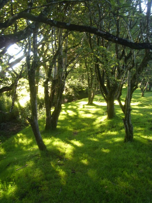 Hawthorn grove - Ravens' Haven - Dartmoor. Something about Dartmoor