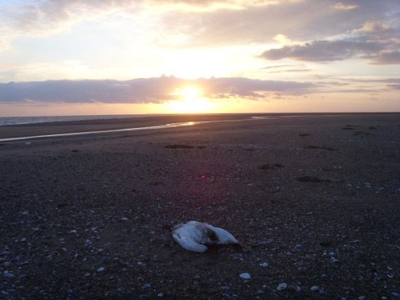 Dying of the light. A dead Gannet.