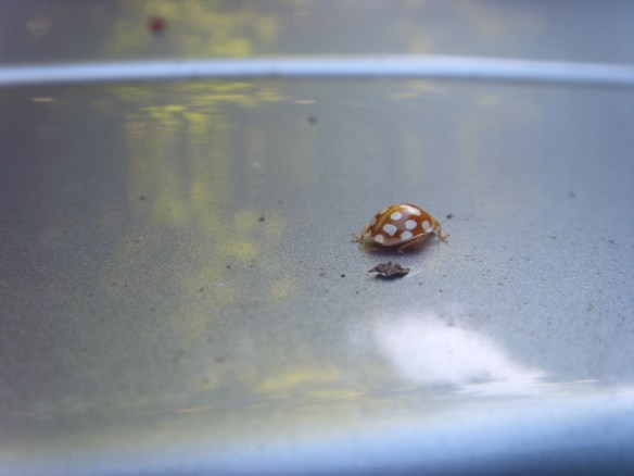 brown-and-white-spotty-ladybird-something-about-dartmoor