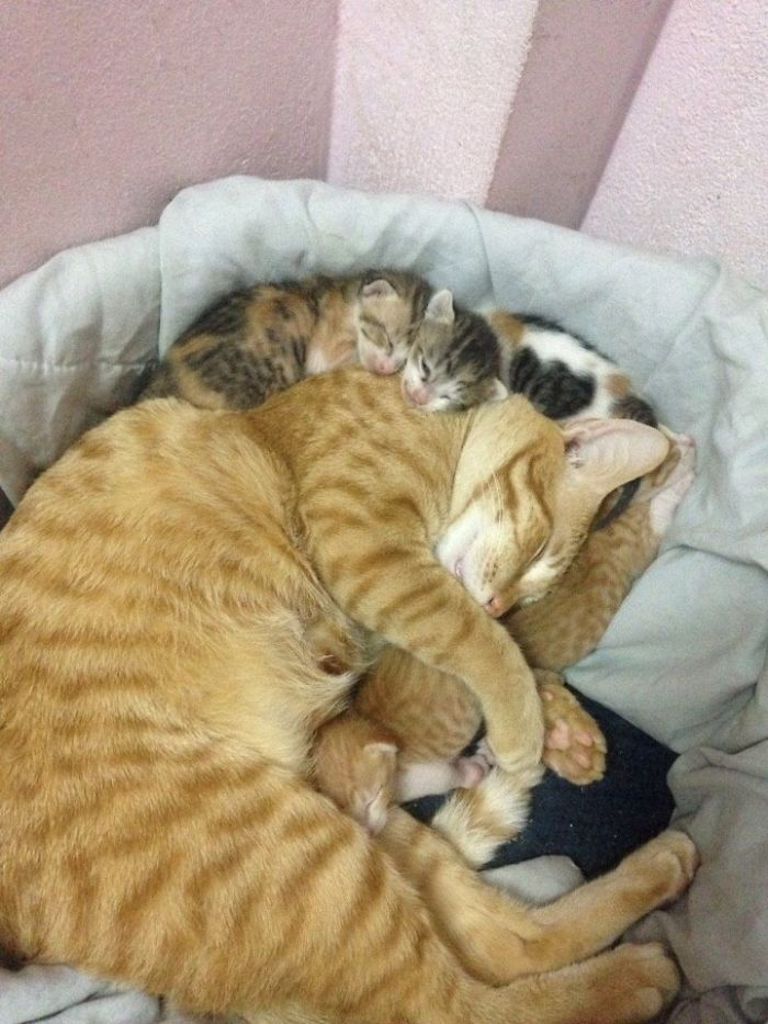 Father-Cat-Supports-Mom-Cat-Giving-Birth-Wins-Everyones-Hearts-58b00f64dad7e__700