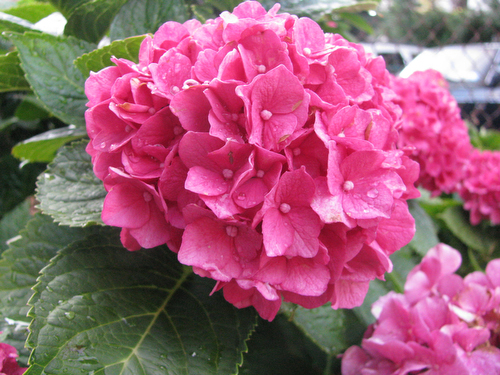 How to Transplant a 10-Year-Old Hydrangea