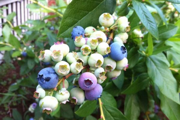 Samantha Picks Blueberries