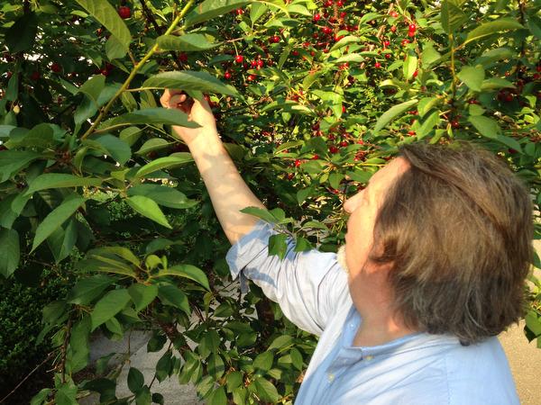 Greg Describes the Sour Cherry Harvest