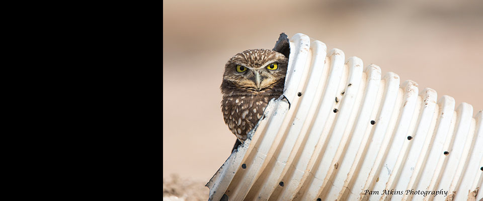 Owl from Salton Sea Outing by Pam Atkins