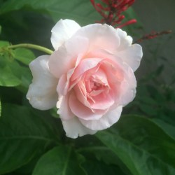 Small Of Abraham Darby Rose