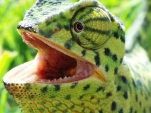chameleon-237268_1280