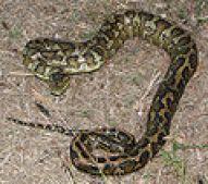 120px-Australian_carpet_python_03_new