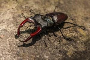 stag-beetle-383984_640